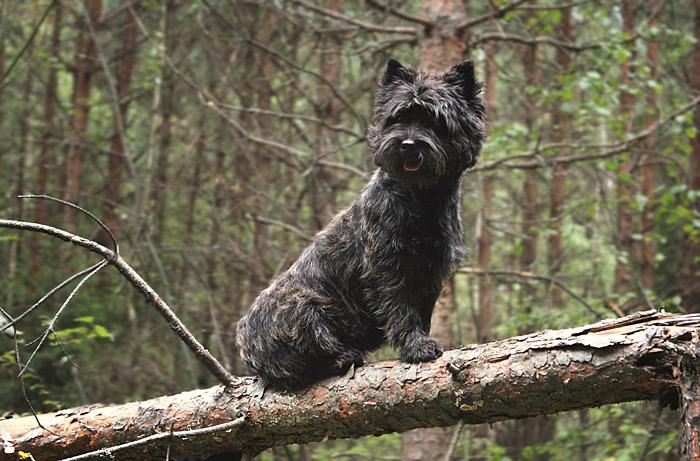 http://www.b-zennen.ru/cairns/dogs/lili/IMG_0754nv.jpg